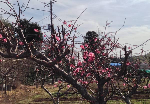 伊東市富戸 県道109号線沿いの梅