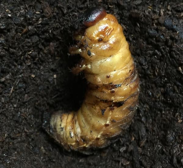 カブトムシの幼虫(サナギ化寸前)