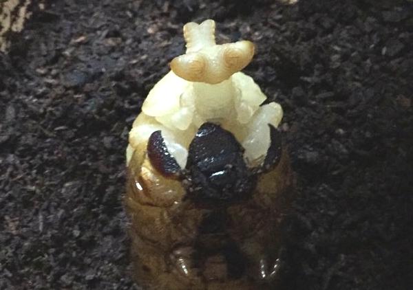 カブトムシ:幼虫から蛹化
