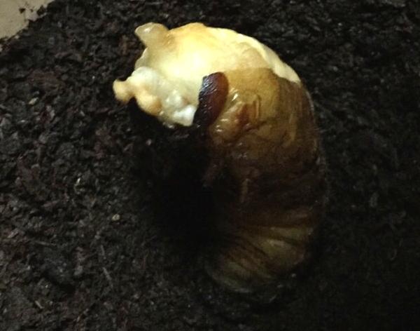幼虫からサナギ