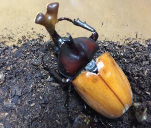 カブトムシの成虫